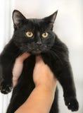 Chat noir aux cheveux courts Images stock