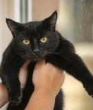 Chat noir aux cheveux courts Image libre de droits