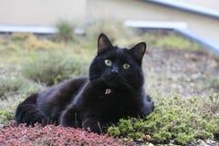 Chat noir avec le regard intense Photographie stock libre de droits