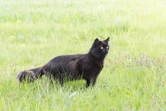 Chat noir dans l'herbe Images stock