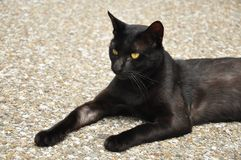 Chat noir dans la posture sérieuse photo libre de droits