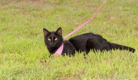 Chat noir dans le harnais dehors Photo libre de droits