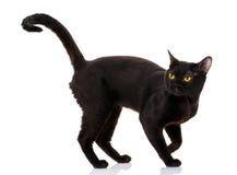 Chat noir de Bombay sur un fond blanc photo libre de droits