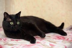 Chat noir dodu beau Image stock