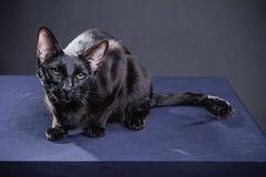 Chat noir espiègle futé sur un fond noir photographie stock libre de droits