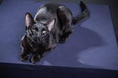 Chat noir espiègle futé sur un fond noir images stock