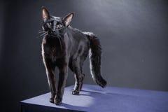 Chat noir espiègle futé sur un fond noir image libre de droits