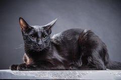 Chat noir espiègle futé sur un fond noir photos libres de droits