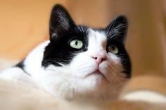 Chat noir et blanc. Photo libre de droits