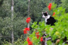 Chat noir et blanc Image stock