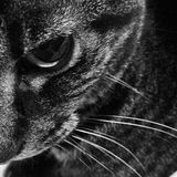 Chat noir et blanc Images libres de droits