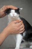 Chat noir et blanc affectueux Photos libres de droits