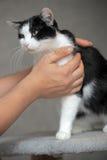 Chat noir et blanc affectueux Photographie stock libre de droits