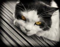 Chat noir et blanc avec les yeux jaunes Photos stock