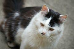 Chat noir et blanc avec les yeux verts image libre de droits