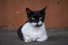 Chat noir et blanc fixant dans une rue, regardant l'appareil-photo Photos stock