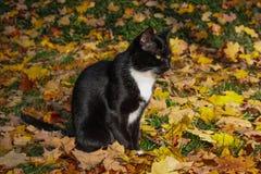 Chat noir et blanc se reposant dans l'attente de feuilles Photographie stock libre de droits