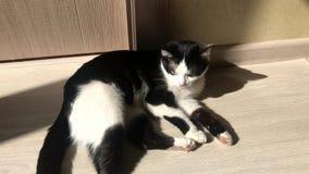Chat noir et blanc se trouvant sur le plancher un jour ensoleill? et se dorant au soleil et l?chant sa patte clips vidéos