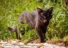 Chat noir et herbe Photo libre de droits