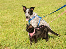 Chat noir et un jeune chien dans le harnais Photographie stock