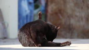 Chat noir léchant et se toilettant, avec la patte  En fin de compte, le chat s'arrête et regarde directement l'appareil-photo clips vidéos