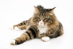 Chat norvégien avec l'expression ennuyée Photo stock