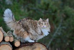 Chat norvégien de forêt femelle dans la forêt image libre de droits