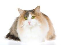 Chat norvégien de forêt sur le fond blanc Photographie stock