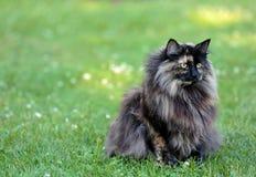 Chat norvégien de forêt sur un summerday Images stock