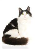 Chat norvégien de forêt sur le fond blanc Image libre de droits