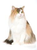Chat norvégien de forêt, sur le fond blanc Photo libre de droits