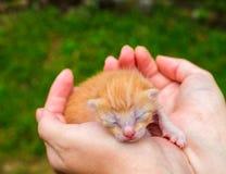 Chat nouveau-né de bébé Minou rouge dans des mains de soin Phot mignon de fin de chat Photos libres de droits