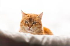 Chat observant à la fenêtre Photo libre de droits