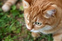 Chat orange Photo libre de droits