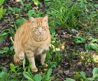 Chat orange Photos libres de droits