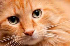 Chat orange adorable de Kitty posant pour l'appareil-photo Image stock
