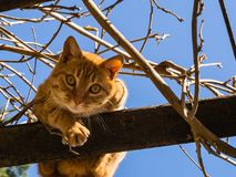 Chat orange adorable regardant vers le bas dans un arbre Image stock