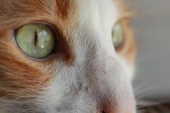 Chat orange aux yeux verts de Chambre image stock
