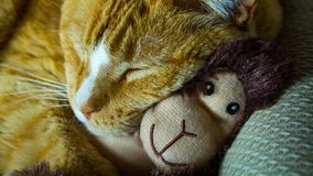 Chat orange caressant avec le singe adorable de chaussette photos stock