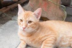Chat orange, chat de Ginger Tabby à la maison regardant fixement en avant Photographie stock