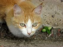 Chat orange et blanc Photo stock