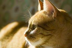 Chat orange mignon Image stock