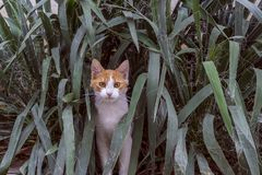 Chat orange se cachant dans le buisson images stock