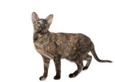 Chat oriental avec les yeux verts Image stock