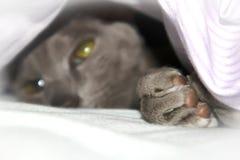 Chat oriental lilas de lisse-manteau adorable se reposant sous la couverture image libre de droits