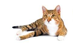 Chat parasite adopté Image libre de droits