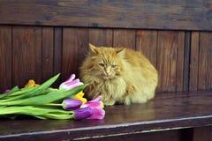 Chat pelucheux avec des tulipes Photographie stock libre de droits