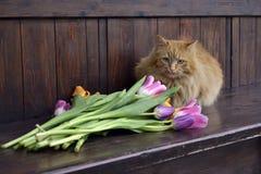 Chat pelucheux avec des tulipes Photos libres de droits