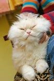 Chat pelucheux blanc avec yeux fermés Photos libres de droits