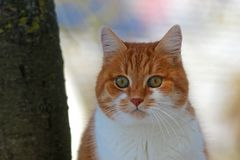 Chat pelucheux de gingembre se reposant près d'un arbre, regardant dans la caméra photo stock